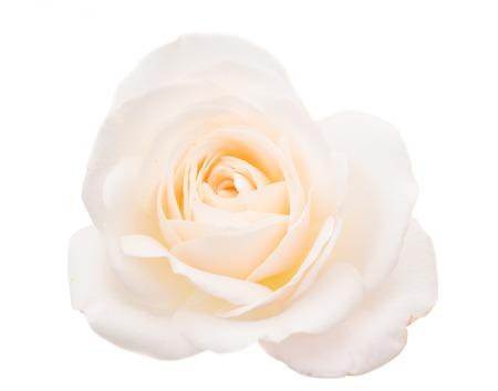Rosa bianca isolato su sfondo bianco Archivio Fotografico - 23070520
