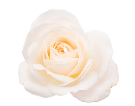 rose bouquet: white rose isolated on white background
