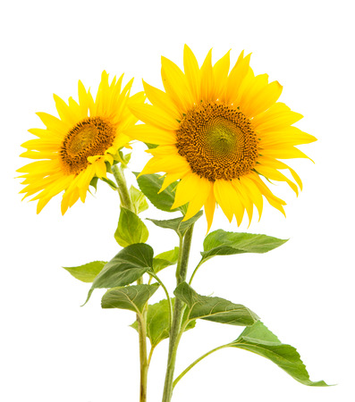 sunflower isolated: sunflower isolated on a white background Stock Photo