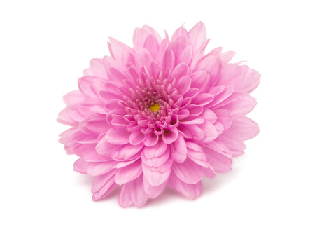 pink chrysanthemum isolated on a white background