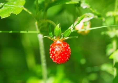 Ripe and unripe strawberry in the forest photo