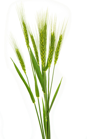 green ears of wheat isolated on white background photo