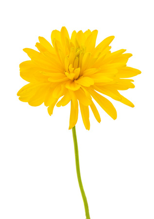 yellow dahlia isolated on white background 写真素材