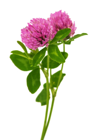 clover flowers isolated on white background photo