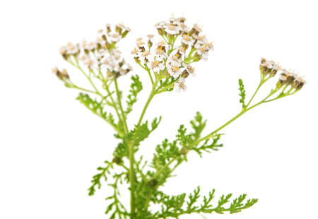 millefolium: Achillea millefolium flower isolated on white
