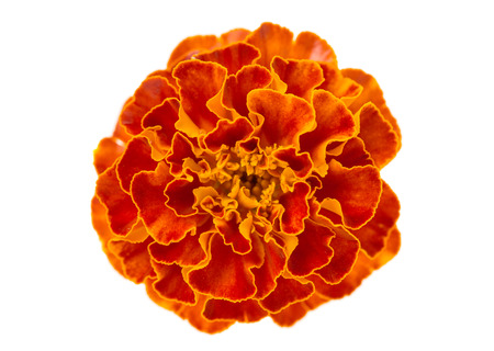 marigolds isolated on white  photo