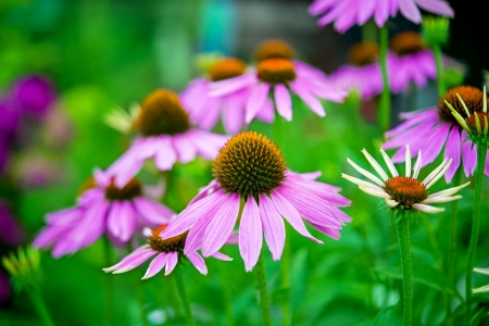 Echinacea is a genus of herbaceous flowering plants in the daisy family, Asteraceae.