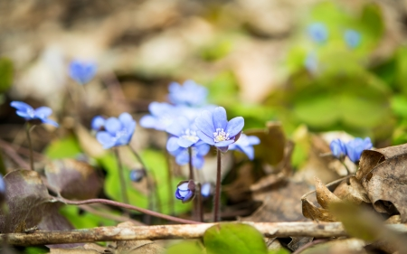 nobilis: blooming in the spring forest Hepatica nobilis Stock Photo