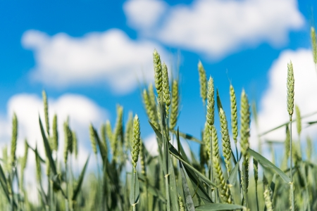 Green wheat on background sky with clouds photo