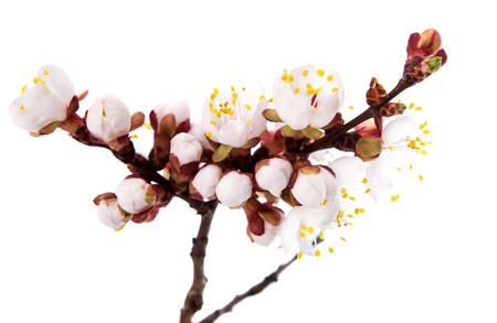 branch with apricot flowers isolated on white background photo