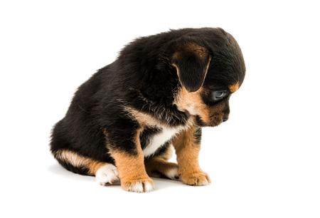 weenie: puppy isolated on white