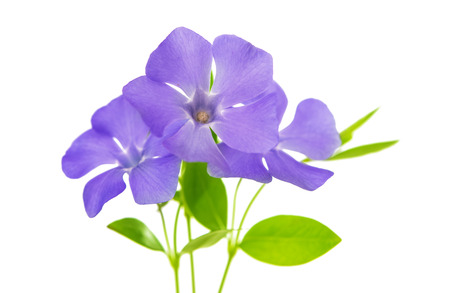 flower periwinkle isolated on white  photo