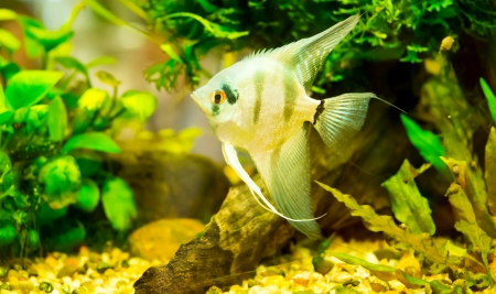 anubias: Un verde hermoso acuario plantado con peces tropicales de agua dulce