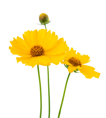 clr: yellow flower isolated on white