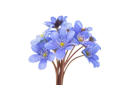 Hepatica nobilis on a white  photo