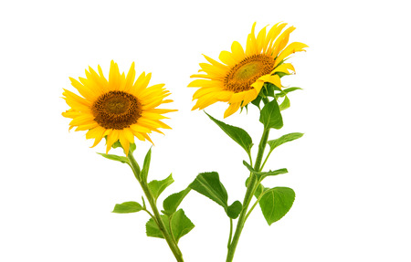 sunflowers on a white background Stock Photo - 26073083