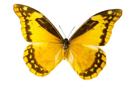 pieridae: butterfly isolated on white background Stock Photo