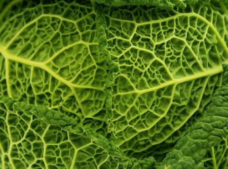 savoy cabbage: fresh savoy cabbage leaf as a texture