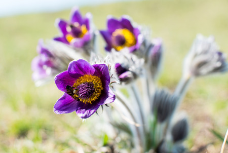 pasqueflower: pasqueflower growing on a spring meadow