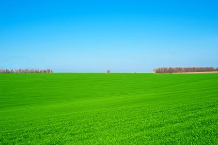 horrizon: green wheat field against a blue sky Stock Photo