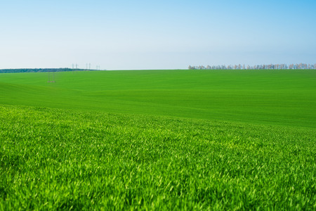 green wheat field against a blue sky Stock Photo