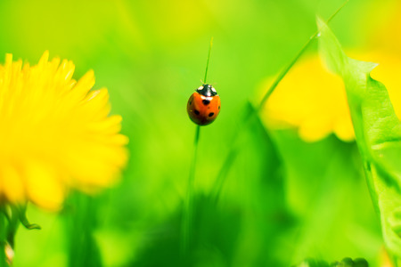 ladybug on a spring meadow photo