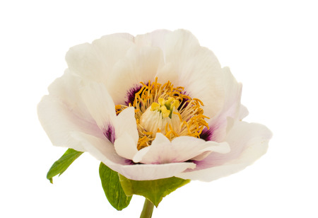 tree peony: tree peony on a white