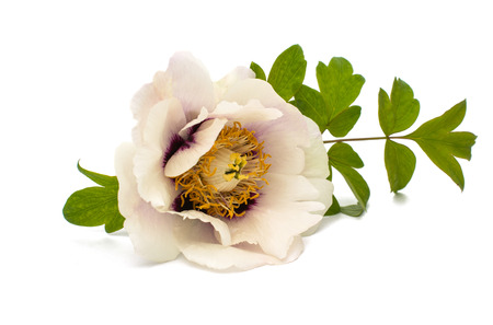 tree peony: tree peony on a white background