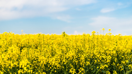 oilseed: A field with flowering yellow oilseed rapeseed