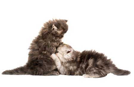 fluffy little kittens played on a white background Stock Photo - 28167313