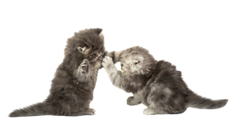 fluffy little kittens played on a white background Stock Photo - 28167315