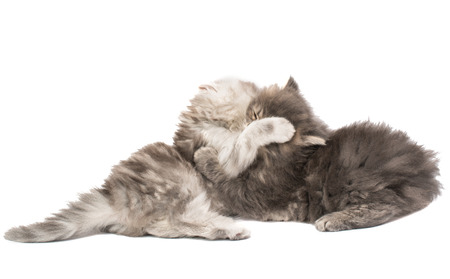 deftness: fluffy little kittens played on a white background Stock Photo