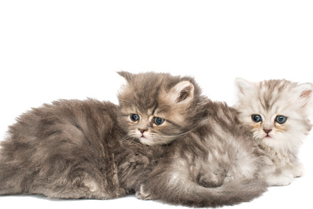 little fluffy kittens on a white background Stock Photo