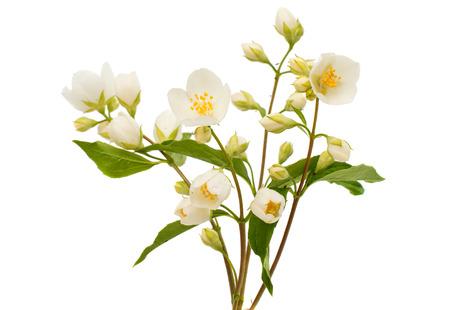 白い背景の上のジャスミンの花
