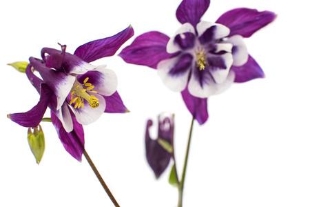 aquilegia: aquilegia flower isolated on white background