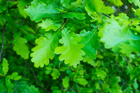 Oak leaves on the tree photo