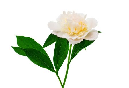 white peony isolated on white background photo