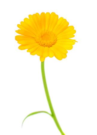 carotenoid: marigold isolated on white background Stock Photo