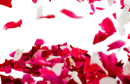 rose petals on white background photo