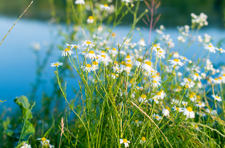 matricaria recutita: daisies blooming in the meadow Stock Photo