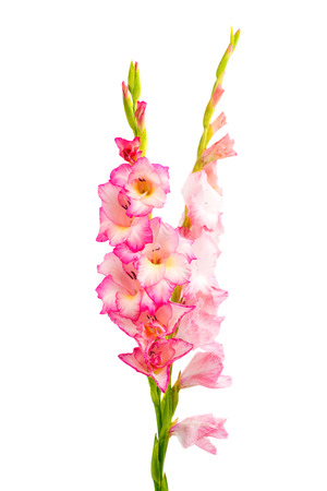 floriculture: pink gladiolus isolated on white background