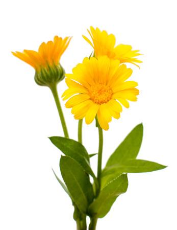 bactericidal: marigold isolated on white background Stock Photo