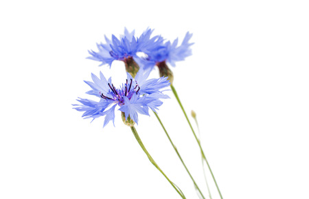 bachelor s button: knapweed flower on a white background