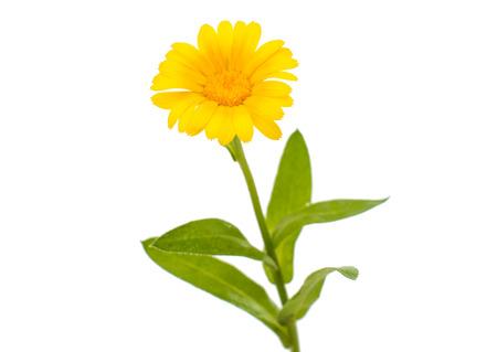 carotenoid: daisy isolated on white background Stock Photo