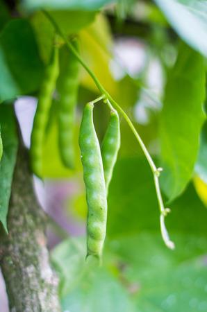 garden bean: bean growing in the garden Stock Photo