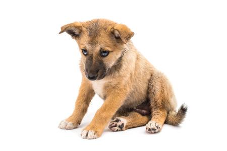 Shepherd puppy on white background photo