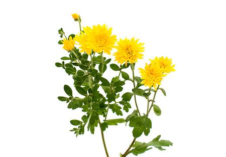 yellow chrysanthemum on a white background photo