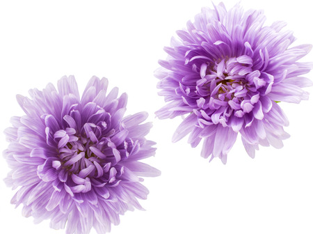 chinensis: aster flower on a white background