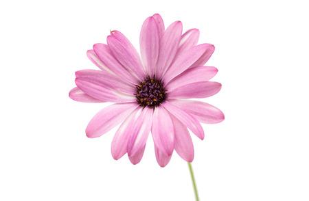 Osteospermum Daisy or Cape Daisy Flower Flower Isolated over White Background. Macro Closeup photo
