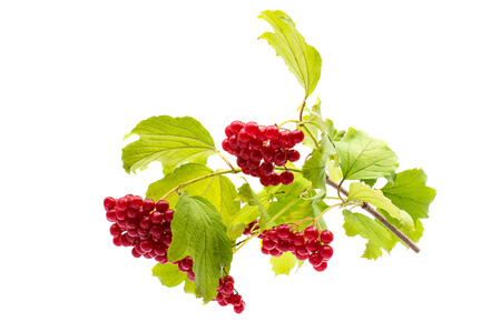 branch of viburnum on a white background photo